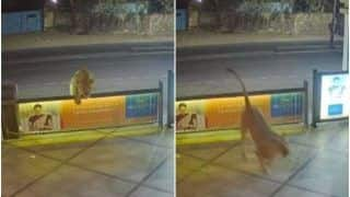 The Terrifying Moment a Lion Checked Into a Hotel in Gujarat's Junagadh, Video Captured on CCTV | Watch