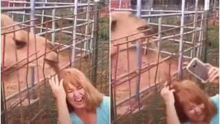 Viral Video: Camel Chews Off Woman's Hair When She Tries to Take a Selfie With It | Watch
