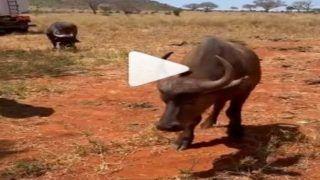 Buffalo Video: शोले के जय-वीरू जैसी भैंस-हाथी की दोस्ती, इतना प्यार देख बौरा जाएंगे
