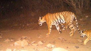 Tigress Avni's Offspring Found Injured in Forest, Undergoing Treatment