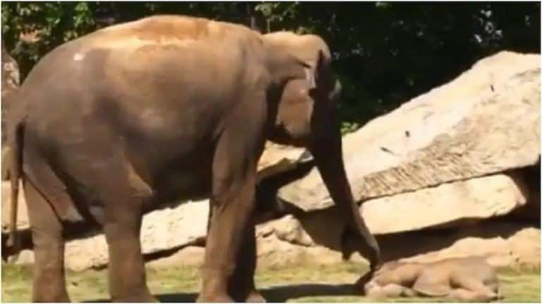 Viral Video: Baby Elephant Refuses To Wake Up From Nap. Watch What His Mother Did Next