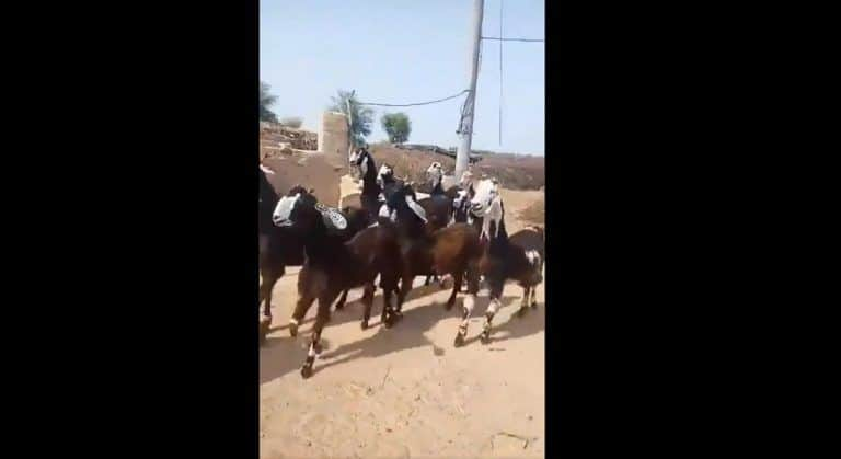 Cute Desi Goats Dance On English Beats With Swagger Walk | Watch Hilarious Video