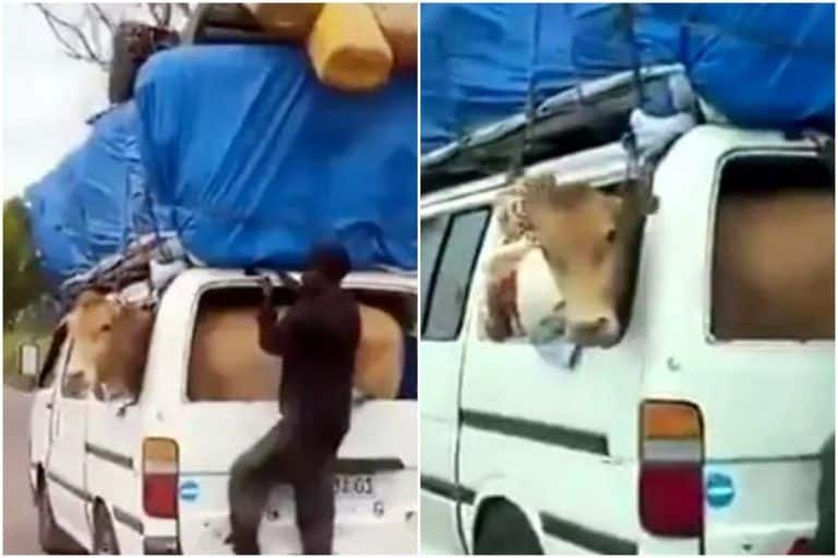 Viral Video: Man Carries Cow in Car, Hilarious 'Jugaad' Video Amuses The Internet | Watch