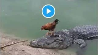 This 10 Second Viral Crocodile-Chicken Video Proves 'Jo Soyega Wo Khoyega' | Watch