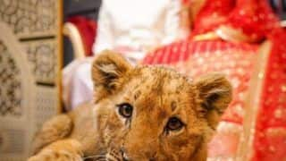 Couple Uses Sedated Lion Cub as 'Prop' For Wedding Photoshoot, Faces Backlash