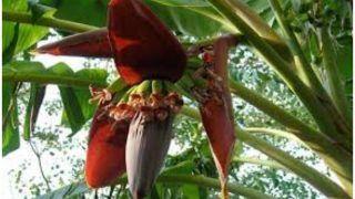Kele Ke Phool Ke Fayde: सिर्फ केला ही नहीं इसका फूल भी होता है सेहत के लिए फायदेमंद, खाने से ये दिक्कतें हो जाएंगी छूमंतर