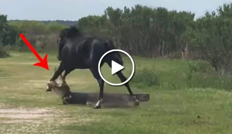 Viral Video: Alligator Attacks Horse After It Tries To Fight Him. Watch What Happens Next