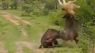 Buffalo Power Pack Video: भैंस को आया गुस्सा, शेर को पूंछ से उठाकर कई बार पटका, लोग बोले- जिसकी लाठी उसकी भैंस...