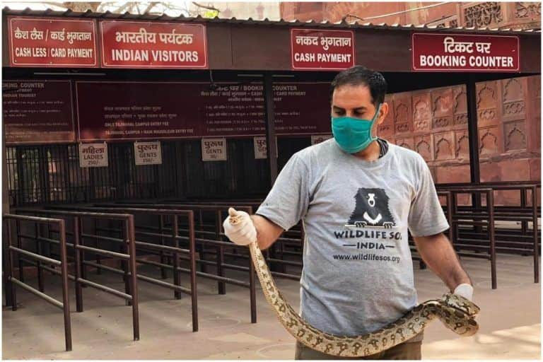 Unexpected Tourist in Agra? 5-Foot-Long Rock Python Spotted at The Taj Mahal Ticket Counter