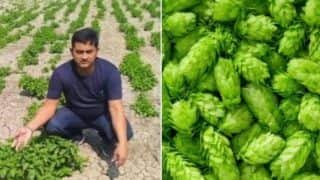Bihar Farmer's ₹1 Lakh/Kg 'Hop-shoots' Crop is a BIG Lie. Know Complete Truth Behind Viral Report