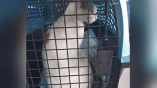 Smuggler Billi: Cat Caught Sneaking Drugs Into Panama Prison, to Be Sent to Pet Adoption Centre