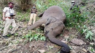Tamil Nadu: 5-Year-Old Male Elephant Electrocuted By Solar Power in Nilgiris District