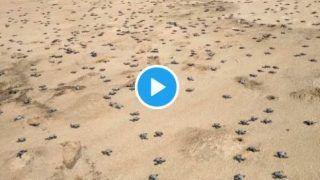 1.48 Crore Endangered Olive Ridley Turtles Born at Odisha's Gahirmatha Beach, Take Their First Steps | Watch