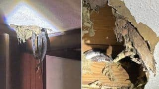 Unwelcome Guests: Family Shocked to Discover 4 Snakes Living in Their Roof