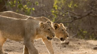 Lion Dies, 9 Others Test Positive For Coronavirus At Chennai's Vandalur Zoo