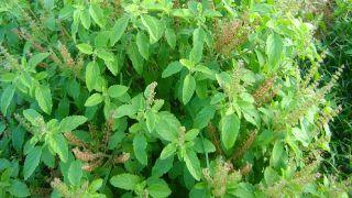 Medicinal plantation in UP: यूपी में बुंदेलखंड औषधीय खेती में सबसे आगे