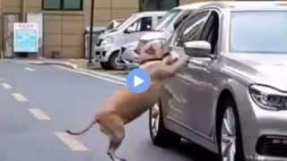 Viral Video of Dog Teaching Car Driver a Lesson for Littering Road is the Best Thing on Internet Today   WATCH