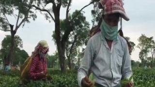 Tea Estate In Assam's Dibrugarh Shut After 133 People Test Covid Positive