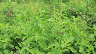 15,000 लगाकर कमायें 3 लाख, जानें- तुलसी का पौधा लगाकर किस तरह से आप बन सकते हैं अमीर