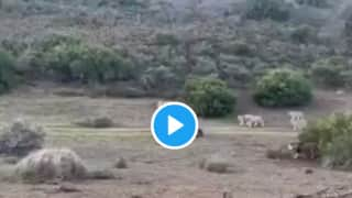 Viral Video: Brave Buffalo Single-Handedly Fights Off Lions to Save Its Child, Twitter Hails Mother's Power | Watch