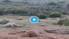 Buffalo Video: बच्चे के साथ जा रही थी भैंस, आ गए कई शेर, बना लिया घेरा, फिर भैंस ने दिखाई ऐसी बहादुरी..