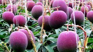 Purple Mango: Use, Health Benefits, And Why It's The World's Costliest Mango