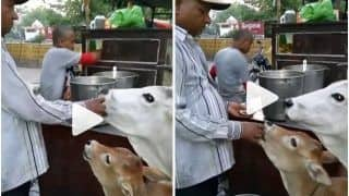 Viral Video: Man Feeds Golgappas to Cow & Her Calf, Adorable Video Wins The Internet | Watch