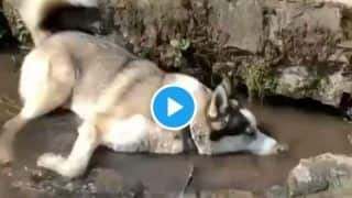 Viral Video: This Dog Enjoying its Day Out and Blowing Bubbles on a Water Stream is the Cutest Thing You'll Watch Today
