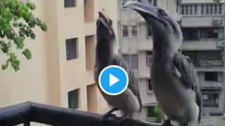 Video of Rare Indian Grey Hornbill Birds Sitting on a Mumbai Balcony Goes Viral, Netizens Are Fascinated   Watch