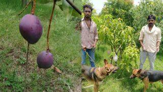 Miyazaki Mangoes: MP Couple Hires 4 Security Guards, 6 Dogs To Protect Two Mango Trees, The Reason Will Leave You Stunned
