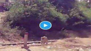 Tiger Railway Track Par: रेलवे ट्रैक पर बड़े आराम से घूम रहा था बाघ, IFS बोले- लगता है इसकी ट्रेन मिस हो गई | देखें Viral Video