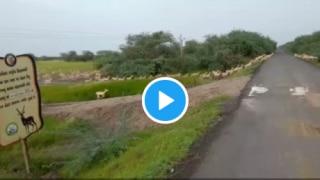 PM Modi Shares Stunning Video of Over 3000 Blackbucks Crossing a Road in Gujarat's Bhavnagar   Watch