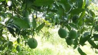 This Single Mango Tree Has 121 Varieties of The Fruit in UP's Saharanpur, Turns Into A Tourist Attraction