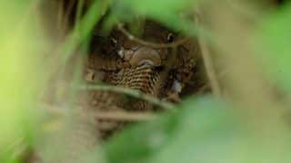Never-seen-before Photo of a King Cobra Eating Another Cobra Snake is Going Viral, Netizens Say 'Those Eyes Look Hypnotic'