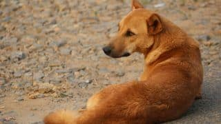Another Case of Animal Cruelty: Miscreant Kills Stray Dog With Air Gun In Mangaluru