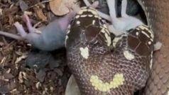 Horrifying Video: वायरल वीडियो में दिखा 2 मुंह वाला दुर्लभ सांप, एक साथ निगल गया 2 चूहे