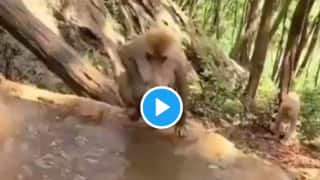 Viral Video: Mama Monkey Bathes Its Kid Just Like Humans Do, Adorable Video Will Make You Laugh | Watch