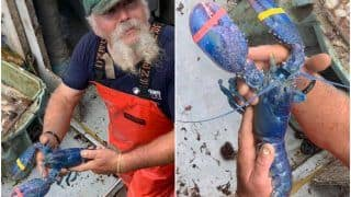 Fisherman Catches Extremely Rare Blue Lobster, Releases it Back Into Ocean   See Pics