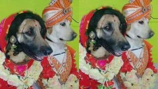 Video of Two Dogs Dressed as Bride and Groom Goes Viral   WATCH