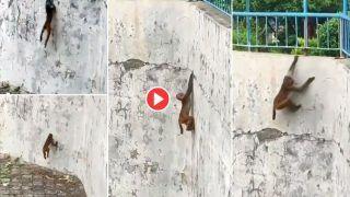 Bandar Ka Video: बंदर नहीं स्पाइडर-मैन है ये पूरा, इतनी ऊंची दीवार पर चढ़ा गया, फिर जो किया हंसी नहीं रुकेगी