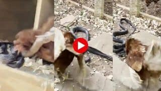 Viral Video: Chicken Shows Snake Who's The Boss Of This Farm   Watch
