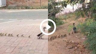 Viral Video: Duck Walks With Her Adorable Little Ducklings in IIM Ahmedabad Campus   Watch