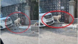 Pet Lion Spotted Wandering on Streets of Cambodia's Phnom Penh After Escaping From Villa   Watch