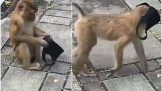 Hilarious Video of Monkey Wearing a Mask & Roaming Around Will Leave You in Splits   Watch