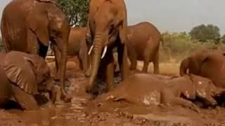 Viral Video: Elephants Enjoy 'Pool Party', Have Fun Bathing & Playing in Mud | Watch Adorable Clip