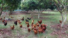 बिहार के लीची बगानों में अब होगा बकरी और मुर्गी पालन, किसानों को होगा दोहरा लाभ