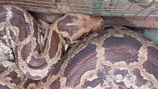 11-Feet-Long Python Swallows Monkey, Rescued From Riverside Near Gujarat's Vadodara