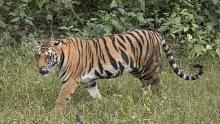 MP: Tigress Found Dumped in Bandhavgarh Tiger Reserve Well With Stones Tied to Carcass