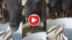 Machhali Khane Wala Bakra: कभी बकरे को मछली खाते देखा है? नहीं तो आज देख लीजिए ये Video | हैरान हो जाएंगे