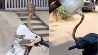 Viral Video: Hissing King Cobra Emerges From Scooty's Handle, Terrifying Rescue Video Goes Viral | Watch